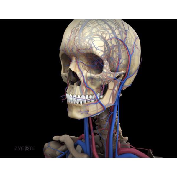 Zygotecomplete 3d Male Anatomy Model