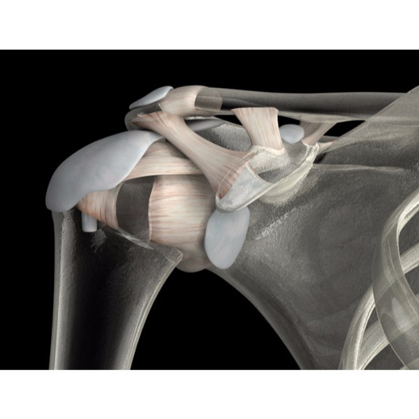 3d male connective tissue shoulder