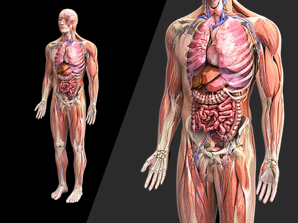 Zygote::Complete 3D Male Anatomy Model