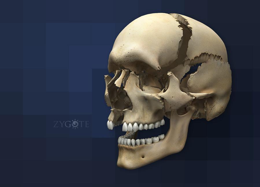 zygote::3d human skull model, Human Body