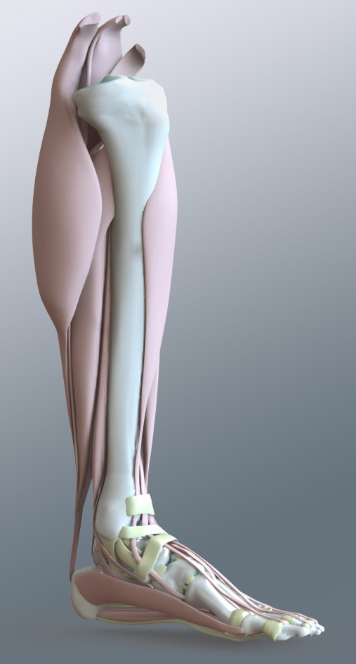 CAD Lower Human Leg Model